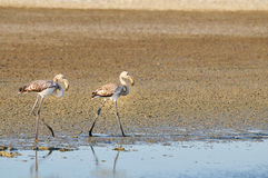 Two juvenile greater flamingos walking Royalty Free Stock Photo