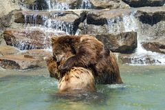 Grizzly bears wrestling in water waterfall in background stock images