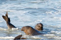 Two juvenile male elephant seals in the surf Royalty Free Stock Images