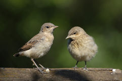 Two Juvenile Northern Wheatears Royalty Free Stock Image