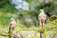 Two Juvenile Pale-chanting goshawks on a branch. Royalty Free Stock Image