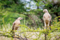 Two Juvenile Pale-chanting goshawks on a branch. Stock Image