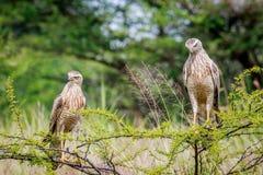 Two Juvenile Pale-chanting goshawks on a branch. Stock Photo