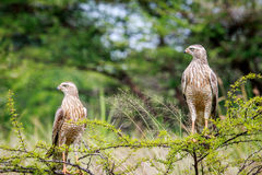 Two Juvenile Pale-chanting goshawks on a branch. Royalty Free Stock Photography