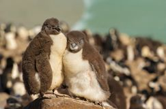 Two juvenile rockhopper penguins standing on a stone Royalty Free Stock Photo