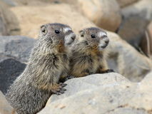 Two Juvenile Yellow-bellied Marmots Royalty Free Stock Photo
