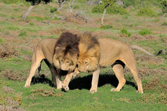 Two Kalahari lions playing in the Addo Elephant National Park. Two Kalahari lions, panthera leo, in the Kuzuko contractual area of the Addo Elephant National stock image