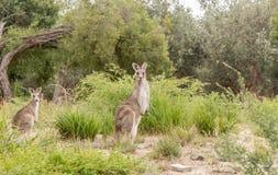 Two kangaroo`s in the wild Stock Photo