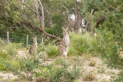 Two kangaroo`s in the wild Royalty Free Stock Image
