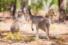 Two kangaroo in the wild Stock Photo