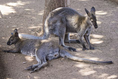 Two kangaroos Stock Images