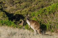 Two kangaroos in Australian outback Royalty Free Stock Photos
