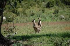 Two kangaroos looking. Out for danger. Canberra, Australia Royalty Free Stock Images