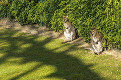 Two kangaroos in a park, Paris Royalty Free Stock Photo