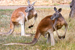 Two Kangaroos pose, Adelaide, Australia. Stock Photos