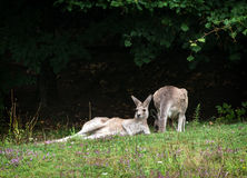 Two kangaroos resting on the meadow Royalty Free Stock Photo