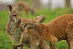 Two Kangaroos sharing a clover. Two kangaroos sharing a clover together in a field Stock Photos