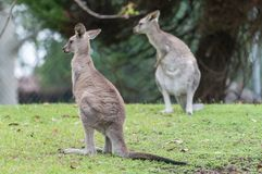 Two kangaroos. On the meadow Royalty Free Stock Image