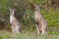 Two Kangaroos in The Wild Stock Image