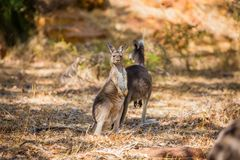 Two kangaroos in the wild Stock Photography