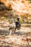 Two kangaroos in the wild Royalty Free Stock Photos