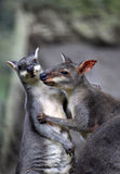 Two kangaroos Stock Photography