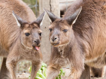 Two kangaroos in the zoo talk Stock Image