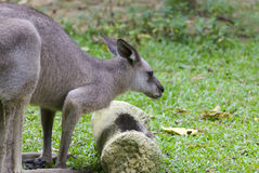 Two Kangeroos Royalty Free Stock Images