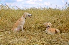 Two Kazakh greyhounds Royalty Free Stock Image