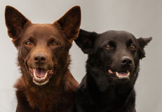 Two kelpie dogs in studio. One back and one brown dog in studio looking into the camera smiling stock photo