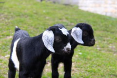 Two kid goats. Two young black and white cute kid goats Stock Image