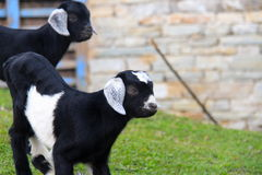 Two kid goats. Two young black and white cute kid goats Stock Photo