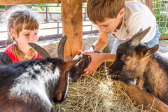 Two kids - boy and girl - taking care of domestic animals on far Stock Photos