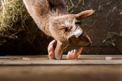 Two kids` hands poking through fence at goat Stock Images