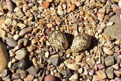 Newly hatching Killdeer chick emerging from it`s egg. Two Killdeer bird eggs found in rock nest. One is getting ready to hatch Royalty Free Stock Photo