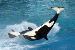 Two killer whales. Flipping in the water Stock Photo