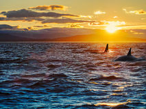 Two killer whales against setting sun Stock Image