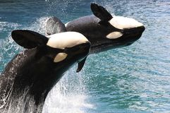 Two killer whales jumping out of water Royalty Free Stock Photo