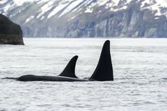Two killer whales Orca, Kamchatka Peninsula, Russia royalty free stock photography