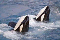 Two killer whales Stock Photo