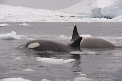 Two Killer Whales. Spy hanting in Antarctica stock images