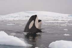 Two Killer Whales. Spy hanting in Antarctica stock image