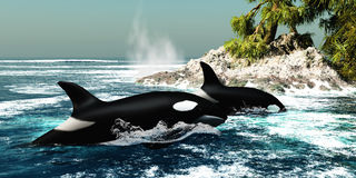 Orca Killer Whales Royalty Free Stock Photography