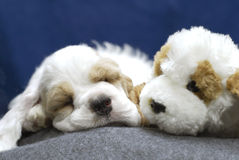 Two of a kind. 9 week old red and white american cocker spaniel puppy sleeping with stuffed look - a - like Royalty Free Stock Image