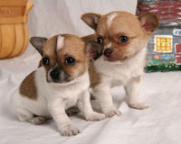 Two of a kind. Pair of chihuahua puppies Royalty Free Stock Photo