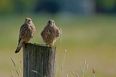 Two of a kind. Juvenile kestrels (Falco tinnunculus) on top of a pole in Uppland, Sweden royalty free stock images