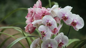Two kinds of orchids stock video footage