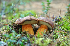 Two king boletus edulis Stock Photo
