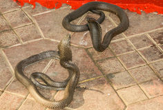 Two King Cobras Facing Each Other with Flared Hoods. On the outdoor tiles of Marrakech Square, two of the most venomous snakes, King Cobras, with hoods flared Stock Photos