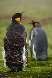 Two King penguin, Aptenodytes patagonicus. Penguin with detail cleaning of feathers Penguin with black and yellow head, Falkland I Royalty Free Stock Images